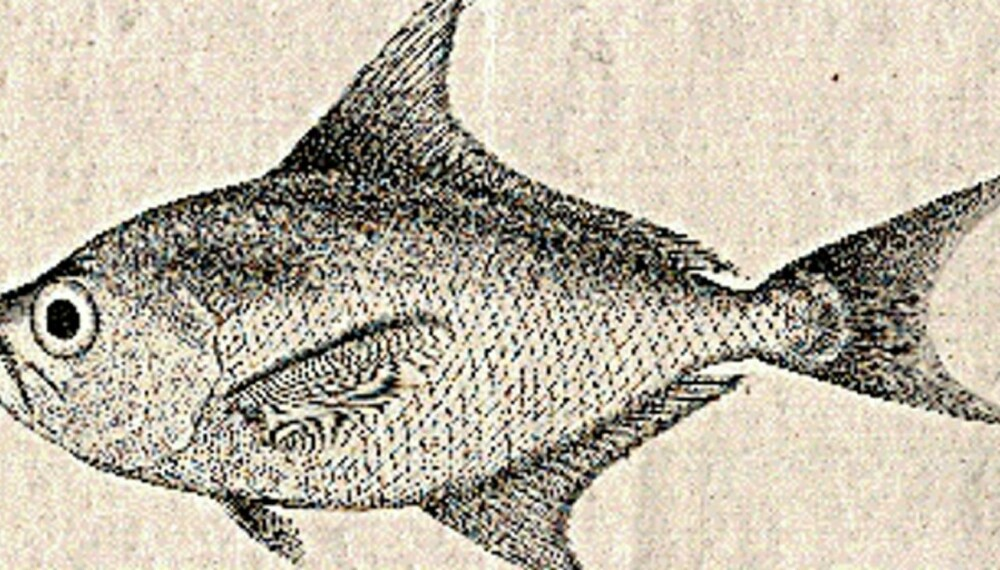 SJELDEN FANGST: Illustrasjon til Esmarks beskrivelse av Brama raschii fra 1862. I dag heter fisken Tarctes asper, eller høyfinnet havbrasme på norsk. Arten tas sporadisk i norske farvann, og dette individet ble fanget i Altafjorden, Finnmark i 1960 og er oppbevart ved Fiskeavdelingen til Zoologisk museum i Oslo.