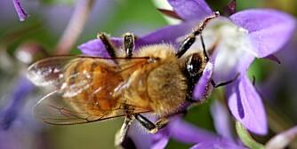 KAN TELLE: Nyere forskning viser at også bier kan telle.
