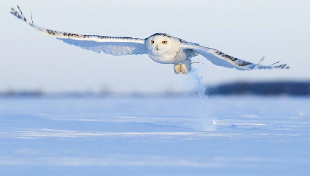 Kjartan Trana er en av fotografene som fikk gull for sitt flotte bilde av snøugle.