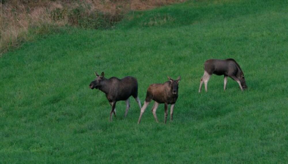 KU TIL VENSTRE, ungdyr midt i bildet og kalv til høyre. (Foto: Bjørn Brendbakken)