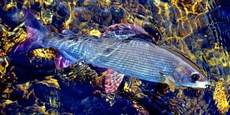 ISHARR: Fra isløsningen og fram til St. Hans foregår det et spennende harrfiske på den nederste strekningen av Lenaelva. Det skal være tatt fisk på 1,6 kg.