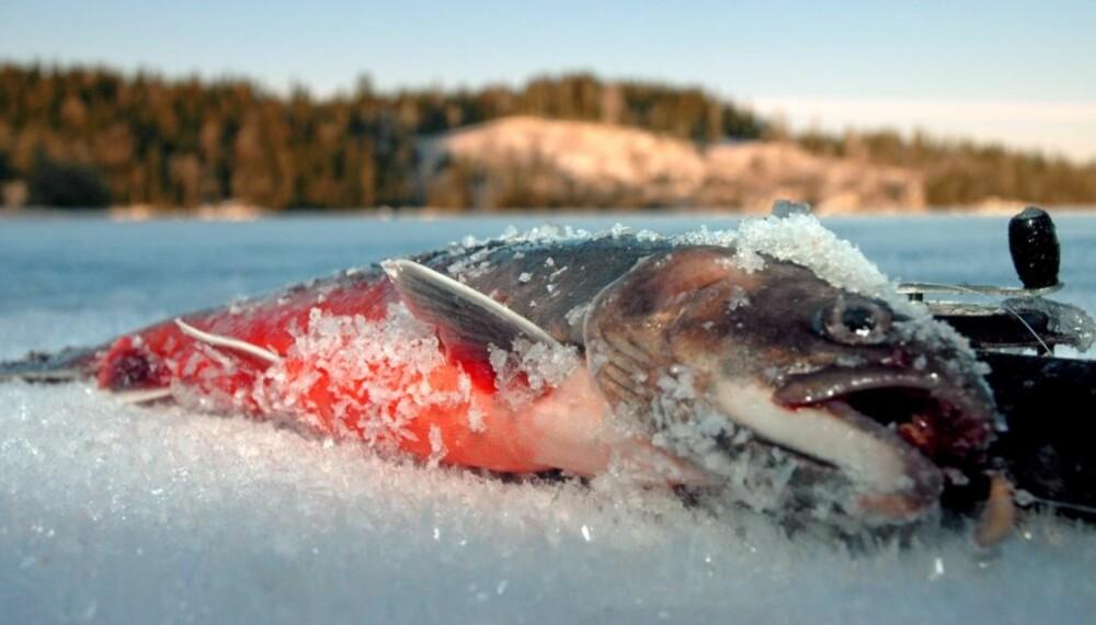 GODE MULIGHETER: Øst i Nordmarka finner du kanskje de mest interessante røyevannene OFA har å by på, og kilosfisk er ingen umulighet.