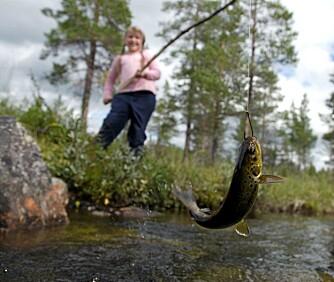 FAST FISK: Sanne vipper den første bekkørreten opp av vannet.