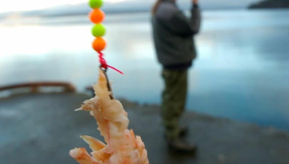 Reke er et godt agn, også til torsk. Men det kan lukte stramt!  (Foto: Yngve Ask)