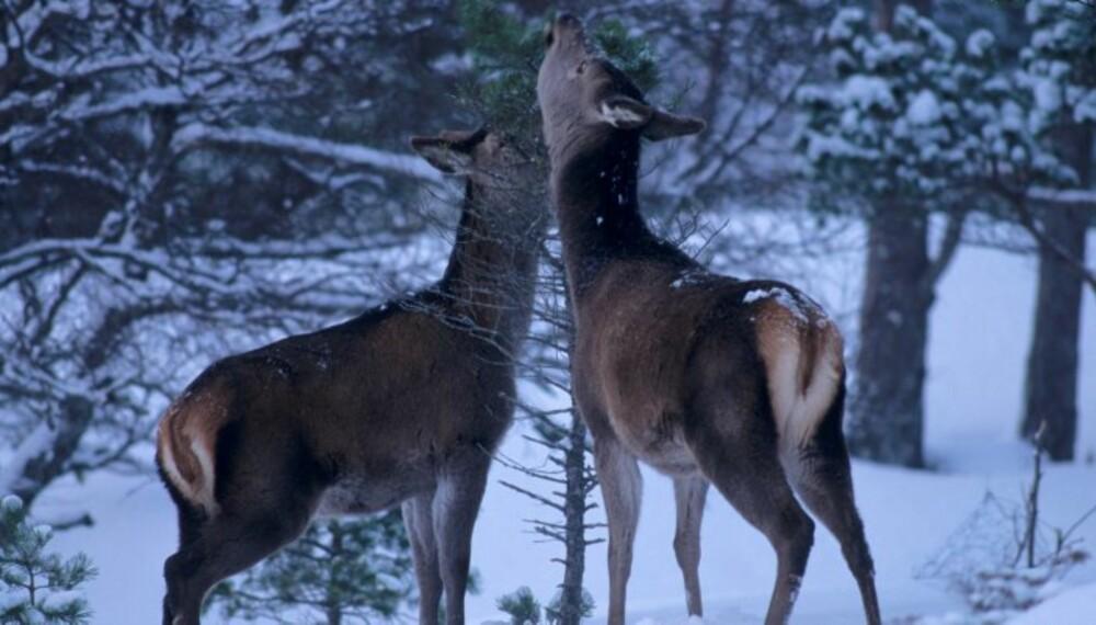 VINTER OG SNØDYBDE er den begrensende faktoren for hjorten i indre strøk på Østlandet. (Foto: Erlend Haarberg)
