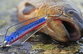 SLUKØRRET: Sluk er alltid et sikkert kort å satse på når du fisker i fjellvann.