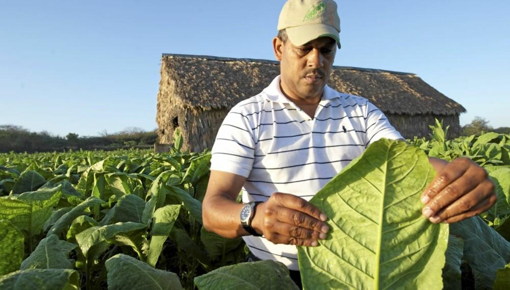 TOBAKKSLANDET: Den dominikanske republikk har en stor tobakksindustri.