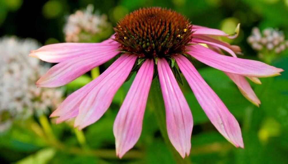 99d66287 SOLHATT: Purpursolhatt (Echinacea) er en flott høstblomstrende staude som  finnes i ulike rosa