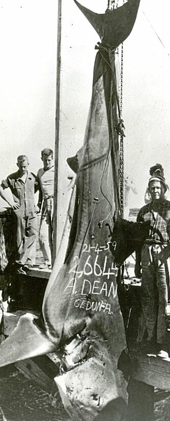 VERDENS STØRSTE: Med 130-punds utrustning brukte Alfred Dean kun 50 minutter på å lande den offisielle IGFA-rekorden på hvithai i april 1959. En avstøpning av den drøyt 5 m lange haien henger i taket på IGFA-hovedkvarteret i Florida.