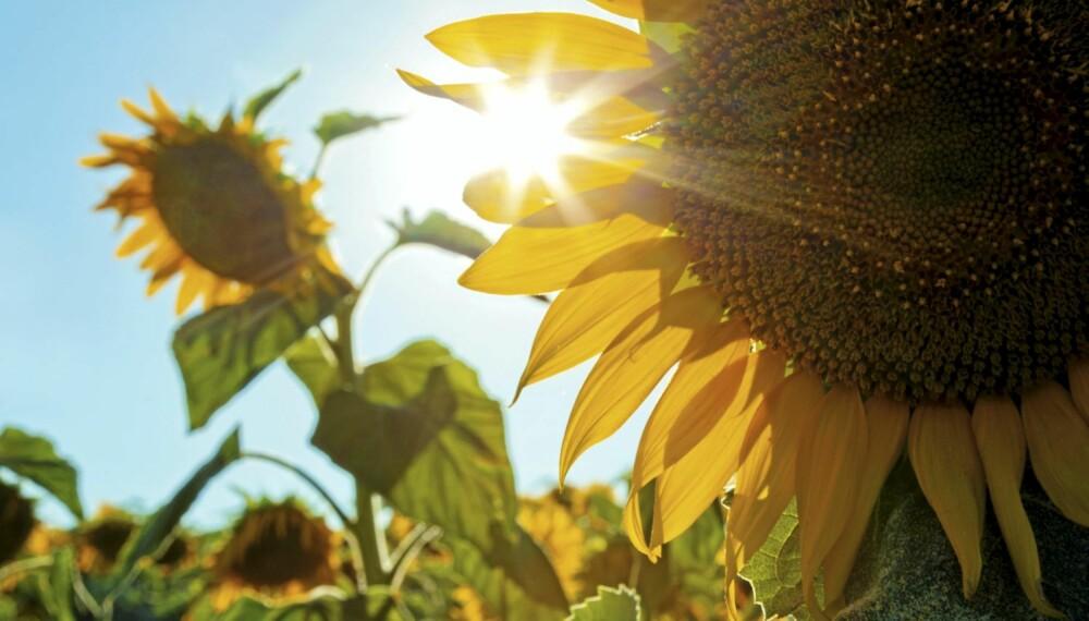 Solsikke: Det er håp for både sol ute og sol inne. Foto: Istock.