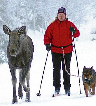 Elgen Svea har i sine to leveår vært turkamerat med matmor Anne Grete og schæferen Chika både sommer og vinter.