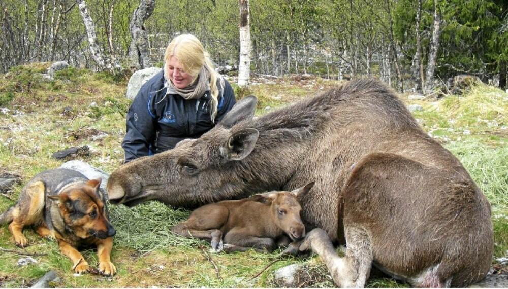 KJÆRLIG: Elgen Svea kommer med et rop når Anne Grete kommer gående og slikker henne ivrig i ansiktet. Her har hun lagt seg ned med elgkalven Svevin, som ble født 17. mai, og det er tydelig at også scæferen Chika er en del av familien.