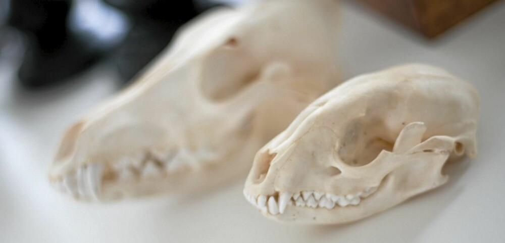 DYRESKALLE: Krypdyrene og dyreskallene som pynter Lisbeths stebord, er kjøpt på butikken Evolution på Prince Street i New York.