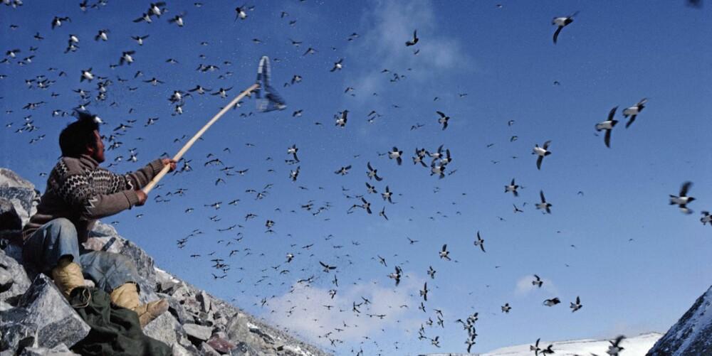 Millioner av alkefugler trekker hvert år tibake til klippene ved kysten for å  hekke. Inuittene ligger i skjul med fangstnett og «hover» inn fugl.