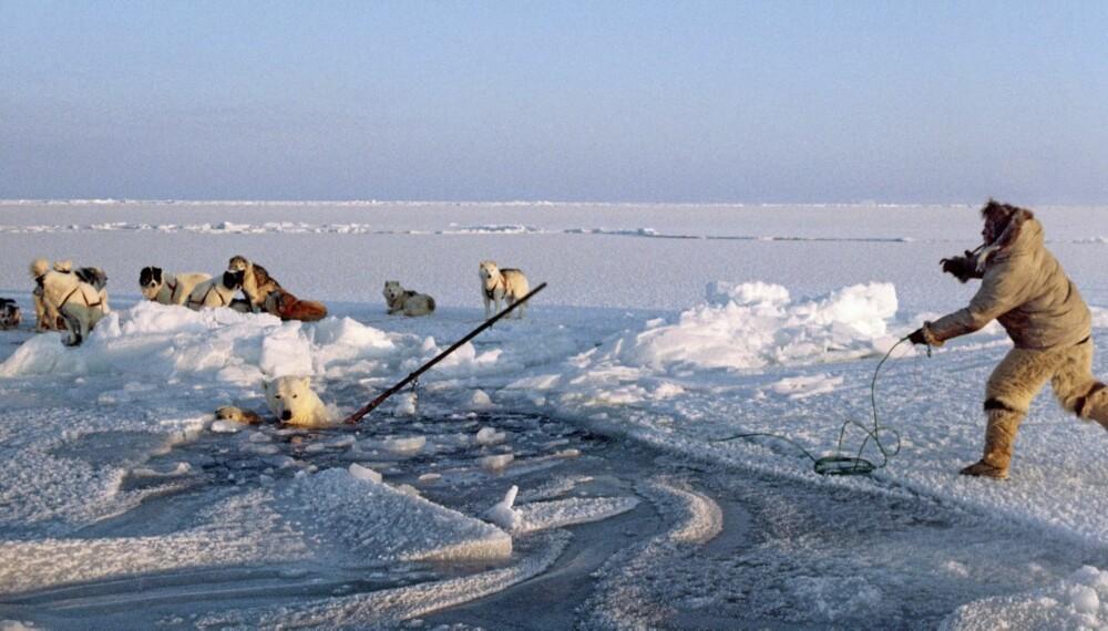 Ituko harpunerer en isbjørn i Melville Bay.