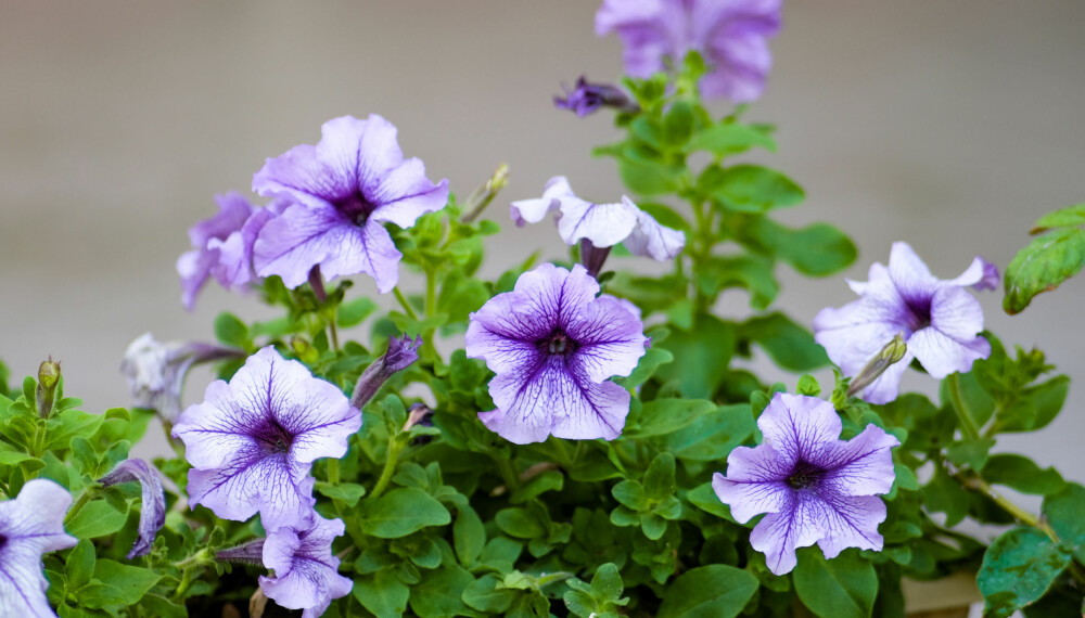 PETUNIA: Blant blomster som tåler både sol, skygge og en regnskur, finner vi petunia, femtunge, spansk margeritt, begonia og stemor. Disse kan være gode valg til hagepottene dine, dersom du er typen som ofte glemmer å vanne. Foto: Gettyimages.com.