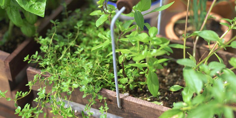 LAGE URTEHAGE: Gressløk, sitronmelisse, mynte, timian, dill, kruspersille og rosmarin er blant urteplantene det er lettest å lykkes med. Foto: Gettyimages.com.