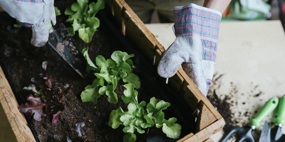 DYRKE GRØNNSAKER: Salat er blant grønnsakene det er enkelt å så, dyrke og høste på egenhånd.