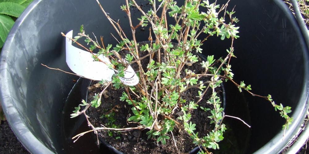 GJENNOMVANNES: Sett planten(e) i en bøtte vann. Minst en halvtime bør den stå.