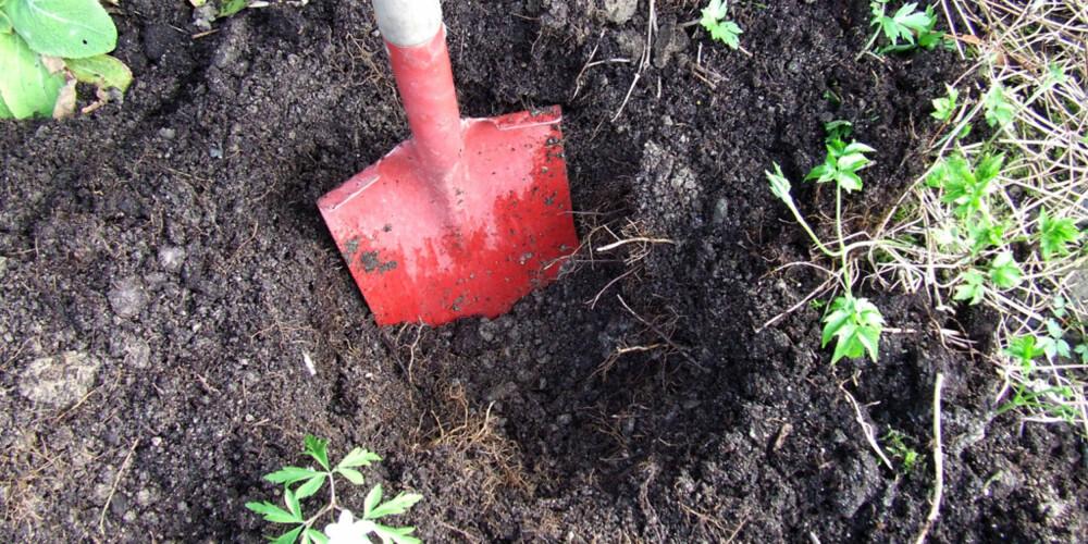 GRAV HULL TIL PLANTA:  Løs opp jorda på plantestedet godt med stikkspade eller spadegreip.