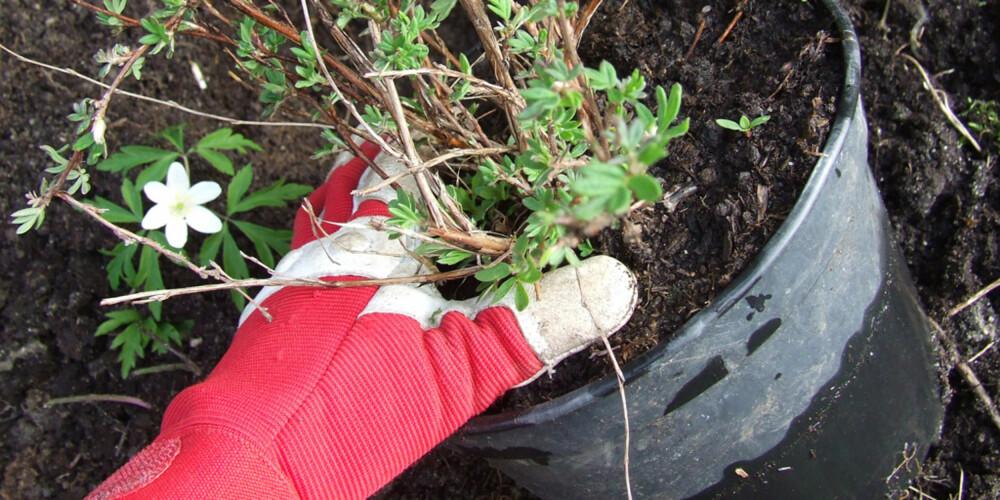 UT AV POTTA: Hold den ene hånden fast ovenpå jorda, snu potten på hodet og dra potten av med den andre hånden.