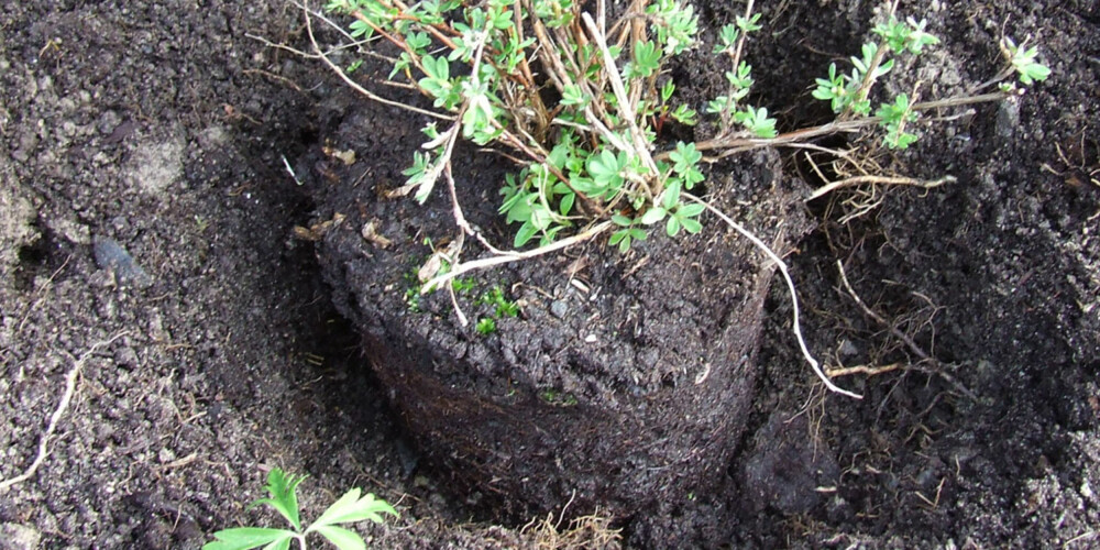 RIKTIG HØYDE: Sett planten i plantehullet, og sjekk at den kommer i riktig høyde. Overflata på jorda i potta skal være på høyde med jorda rundt når du har fylt tilbake jord.