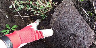 ROTSNURR: Sjekk om planten har rotsnurr (at røttene kveiler seg tett rundt og rundt) - da lønner det seg å klippe opp røttene. Denne ser fin ut.