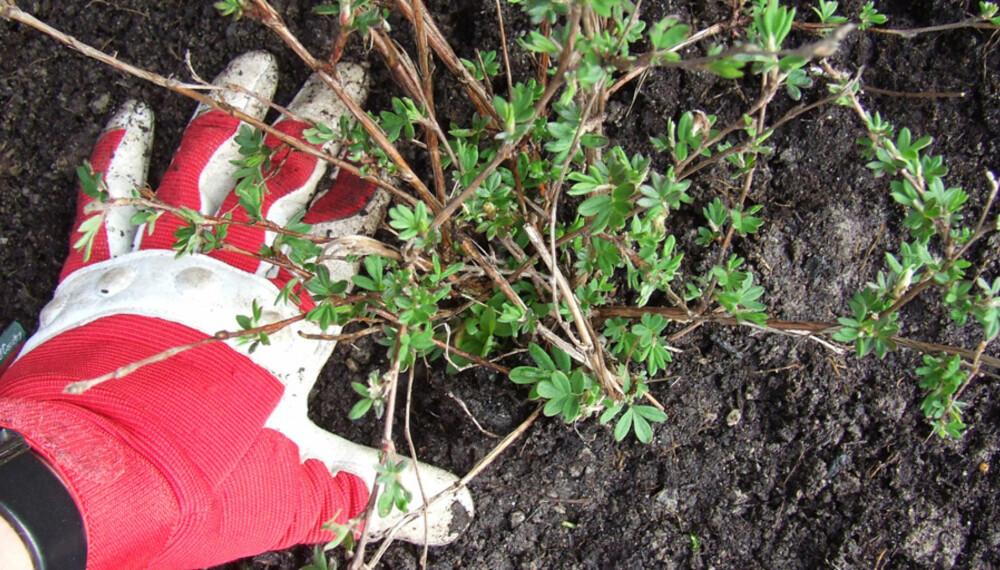 FYLL OG TRYKK: Fyll tilbake jord. Eventuelt skadde plantedeler fjernes.  Trykk jorda på plass så det ikke blir luftlommer rundt planta.