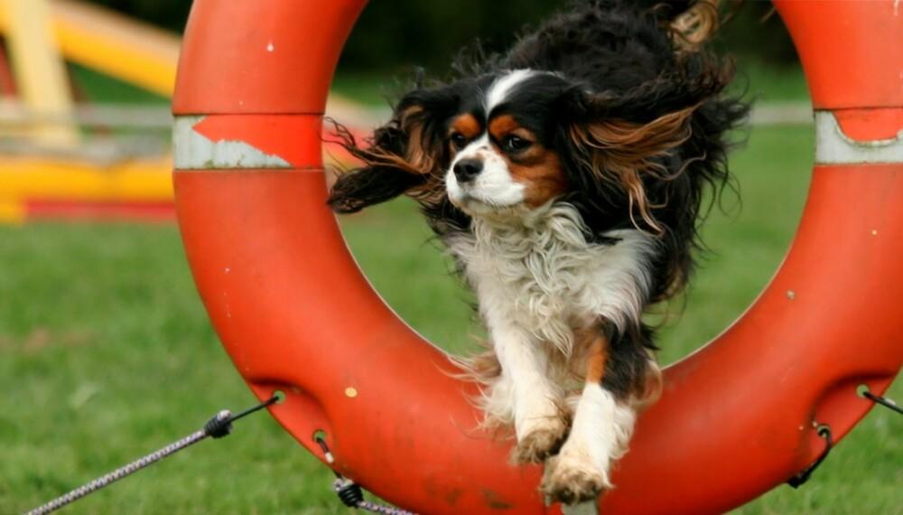 Agility: å trene hunder i hopp og kombinasjoner.