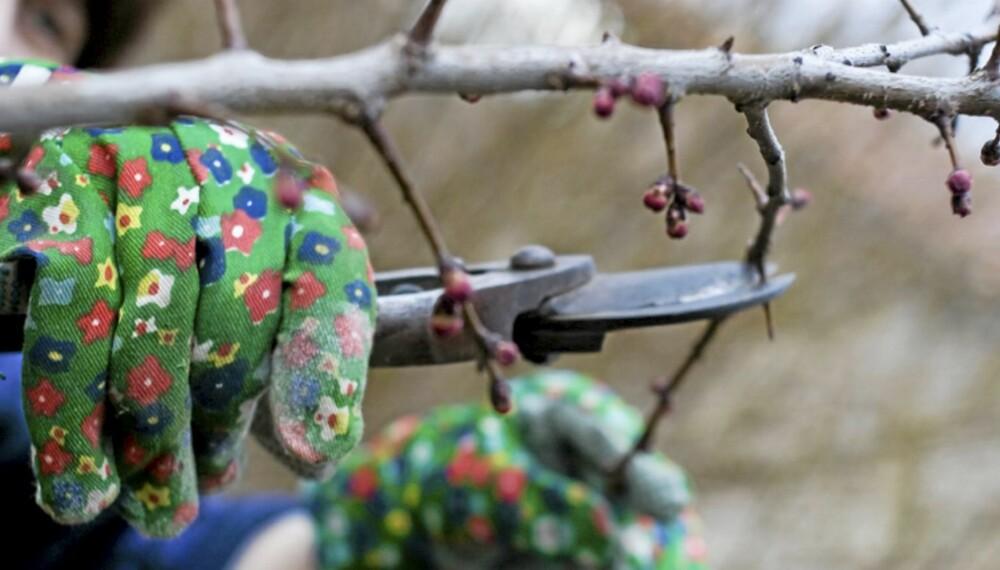 VÅRHAGEN: Et av de viktigste syslene nå i mars er å beskjære buskene.
