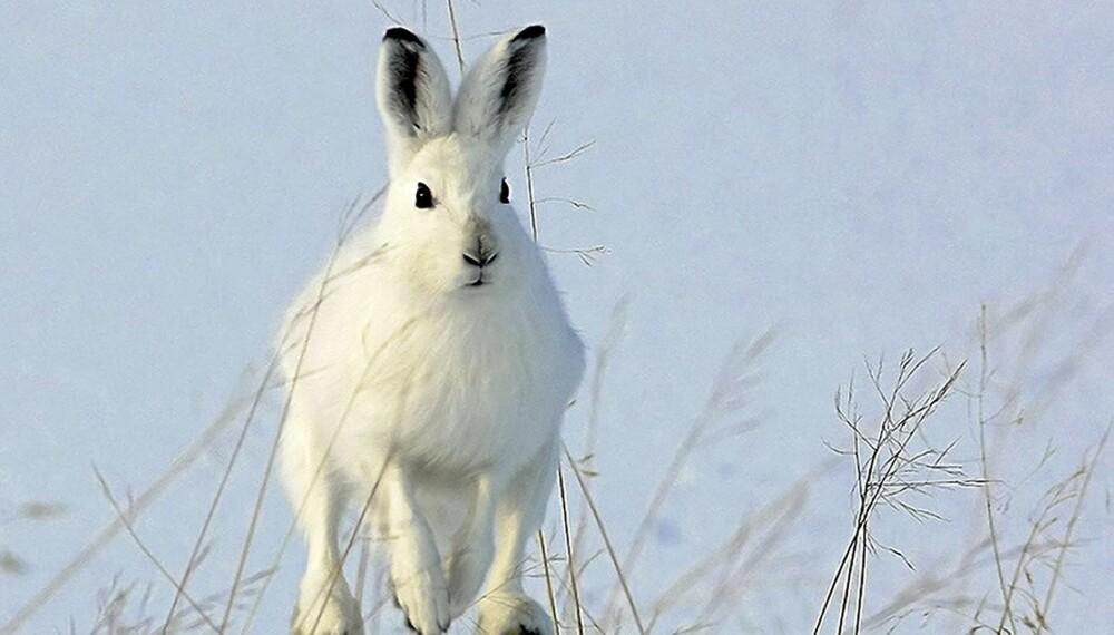 Ketil Olsens hare var det bildet som scoret høyest hos juryen i år , og ble kåret til Årets naturbilde 2010.