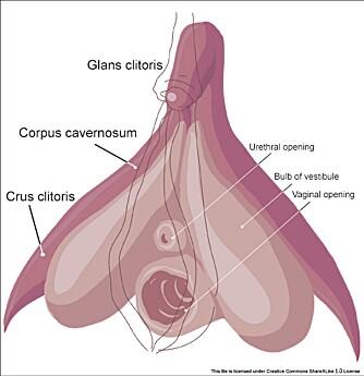 STØRRE ENN MAN TROR: Kvinnens klitoris er et stort organ, og det eneste organet i menneskekroppen som ene og alene er til for å gi nytelse.