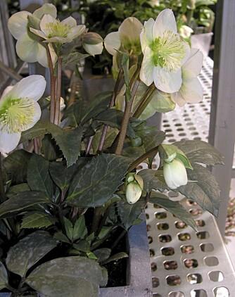 JULEROSE: Også kalt helleborus niger, trives også i krukke.