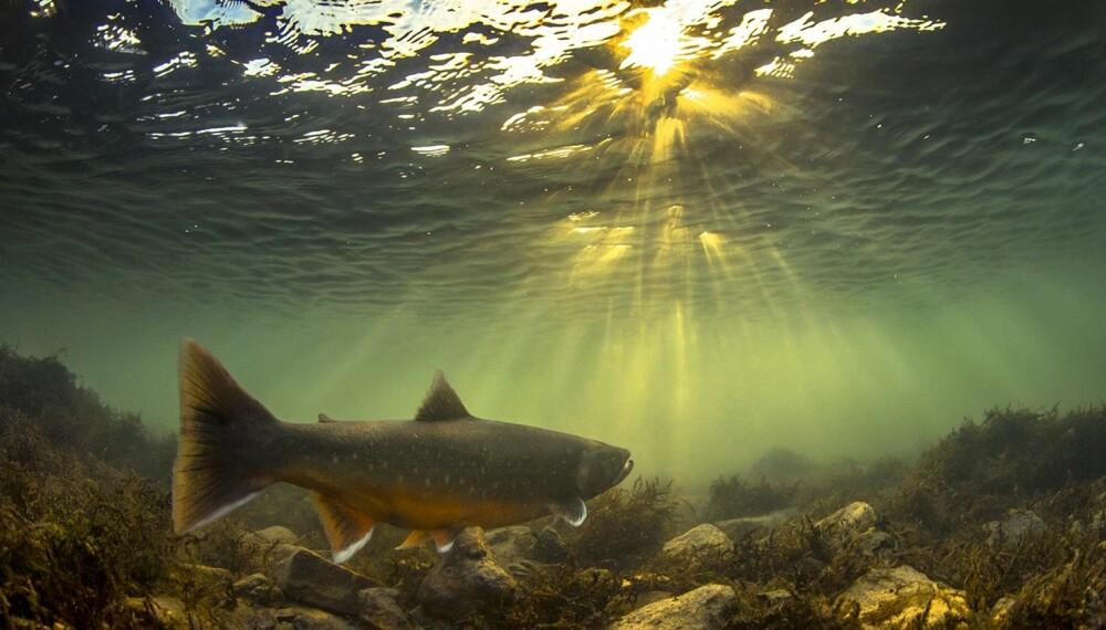 """Audun Rikardsen stakk av med førsteplassen i konkurransen om Årets Naturbilde 2013. Bildet heter """"Arktisk midnattsrøye"""" og var et av gullbildene i årets siste omgang."""