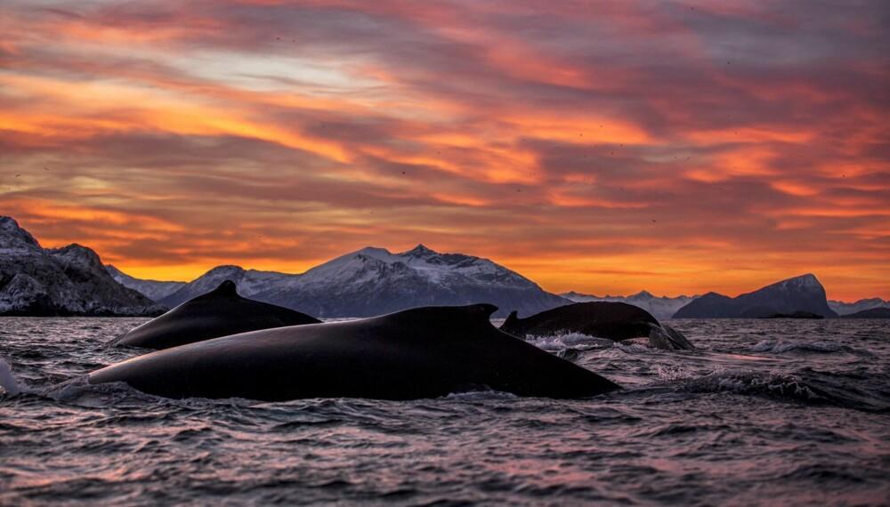Audun Rilkardsen er årets vinner av NM i Naturfoto - gratulerer! Hele 19 gullbilder har han fått igjennom årets konkurranse - dette er et av dem: Havets giganter.
