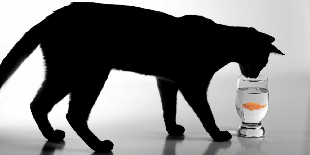 SVART KATT: Hvis du drømmer om en katt, er det ikke katten i seg selv som er interessant.