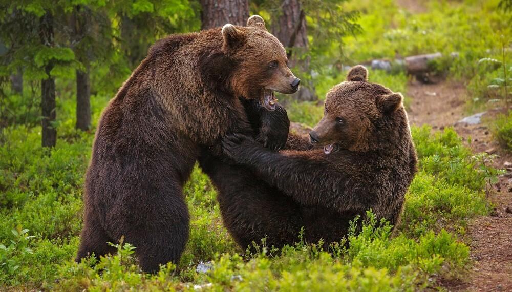 """Bildet """"Fighting Bears"""" av Andy Trowbridge er ett av rundens 10 gullbilder."""
