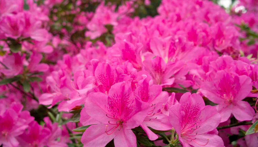 AZALEA: Intens rosablomstrende azalea er et blikkfang i surjordsbedet.
