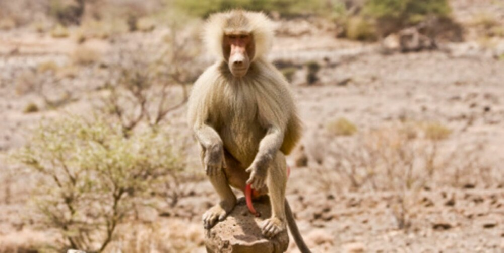 MANDIG: En bavian sitter på sin trone og vifter med stasen i Djibouti, Øst-Afrika.