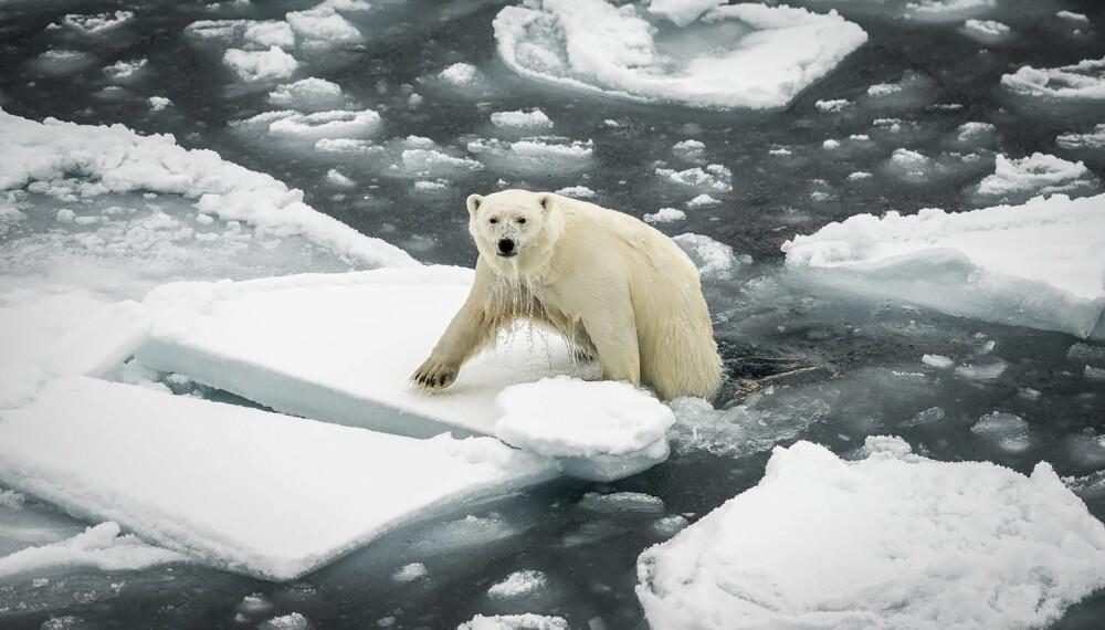 """Jan R Olsen fikk hele fire gull i denne nest siste runden av Fotojakta. Her er """"Isbjørn opp av vannet""""."""