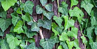 EFØY: En vintergrønn klatreplante som eføy, er et fint utgangspunkt på det grønne taket.