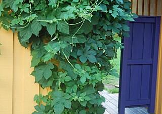 IMPONERENDE RASK: Humle vokser inntil 18 cm i døgnet. I løpet av sommermånedene kan den danne ranker på seks meters lengde.