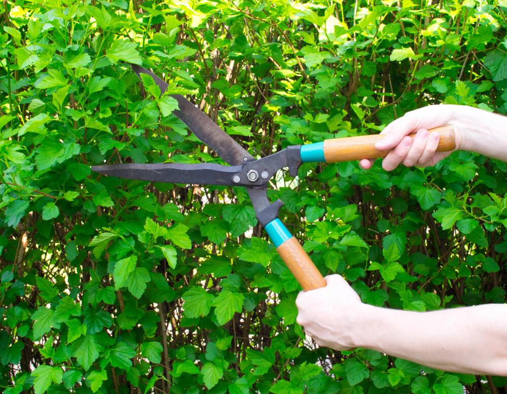 LOVLIG? Går hekken til naboen mer enn en halv meter inn på din tomt har du rett til å be ham trimme den.