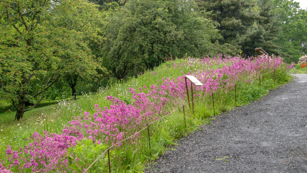 ENGTJÆREBLOM: Denne slåttemarken med fiolett engtjæreblom er anlagt i Botanisk hage i Oslo.