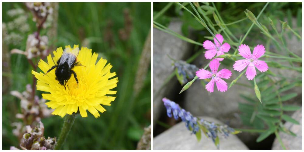 VILLE MARKBLOMSTER: Til venstre blomsten ved navn flekkgrisøre og til høyre den vakre engnellik.