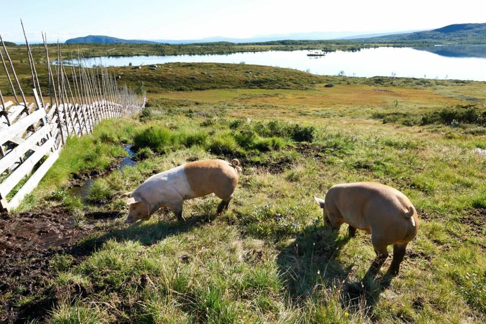 STØLSGRISER: Tre griser ble brakt opp på stølen for å fetes opp, og her boltrer de seg på fire mål beite. Det er godt å være gris på Olestølen.