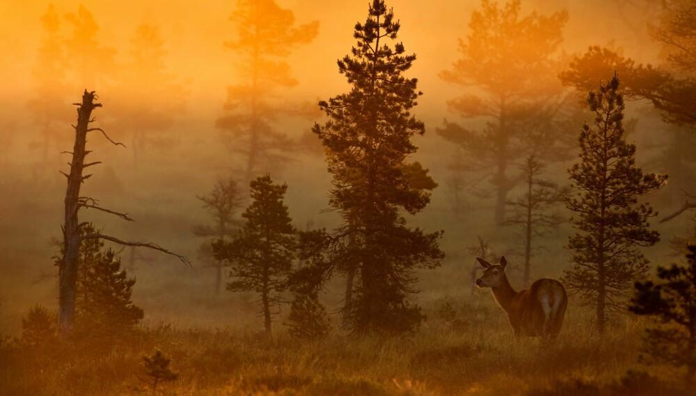 """Bernt Østhus' """"Kolle i morgengry"""" er ett av rundens 10 gullbilder."""