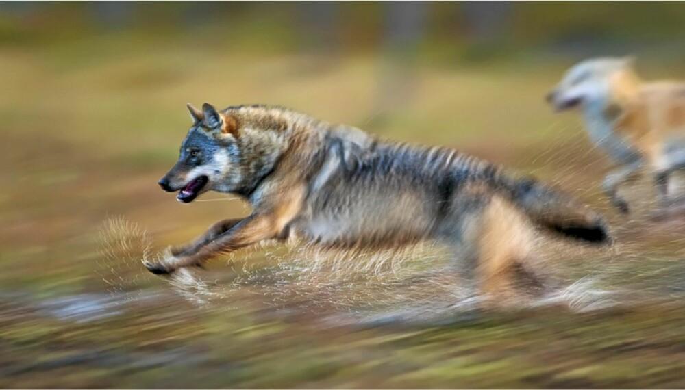 """Terje Syltes gullbilde """"Wolf attack"""" er ett av gullbildene i årets siste runde."""