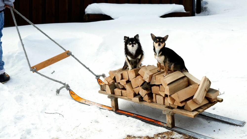 HYGGELIG SELSKAP: Hundene er med, og om de ikke akkurat er til så stor hjelp, så gjør de så godt de kan for å holde alle med selskap. Kjelken er hjemmelaget av gamle ski og noen trestykker.
