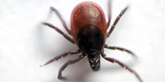 BITER: Flåtten biter seg fast i huden, spesielt i områder med tynn hud som lysken, nakken, knehasene og armhulene.